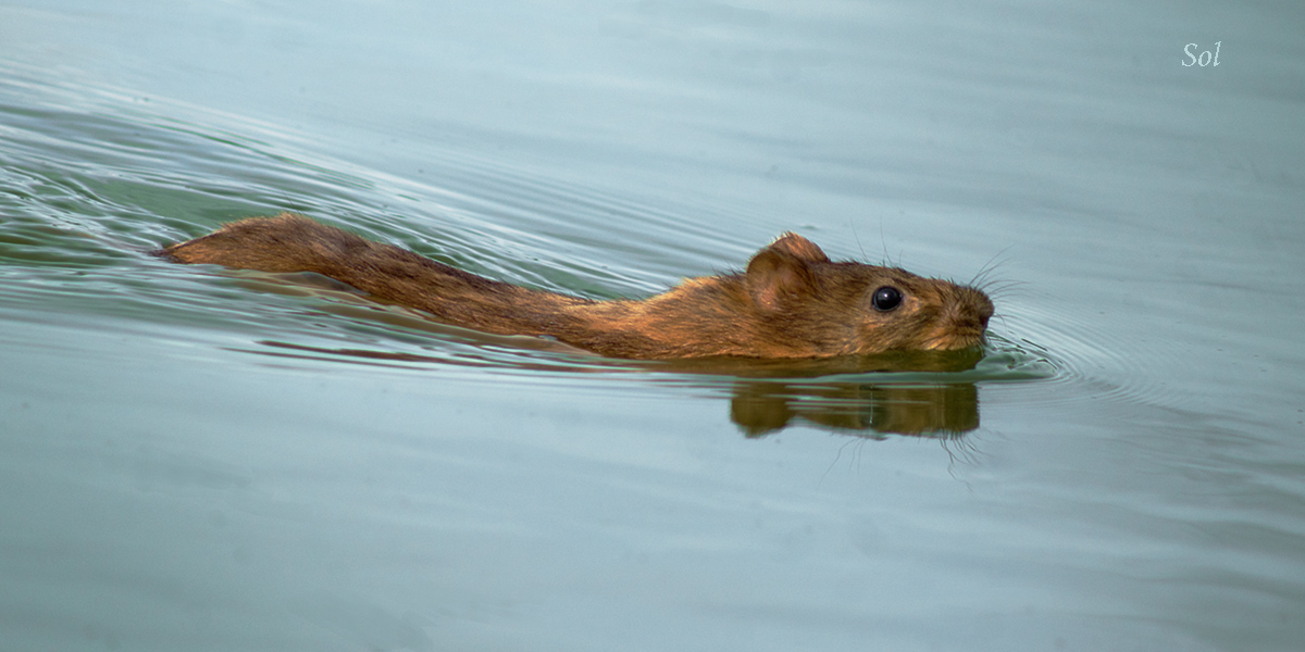 rata de agua