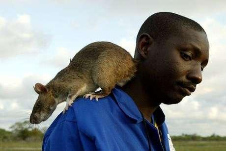 Rata de Gambia. Puede llegar a pesar hasta 4 kg.